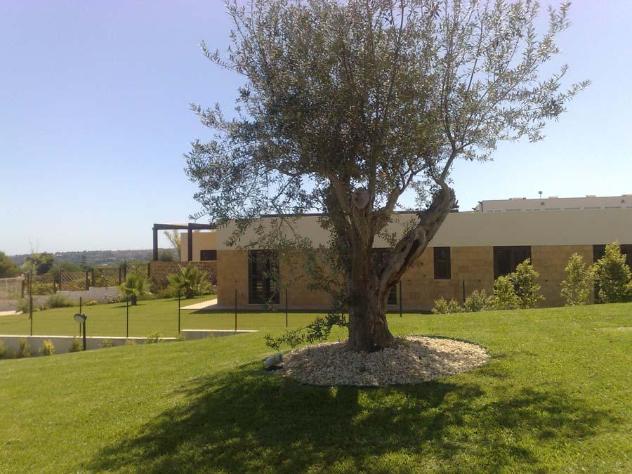 Ulivo in giardino - Giardino con ulivo ...